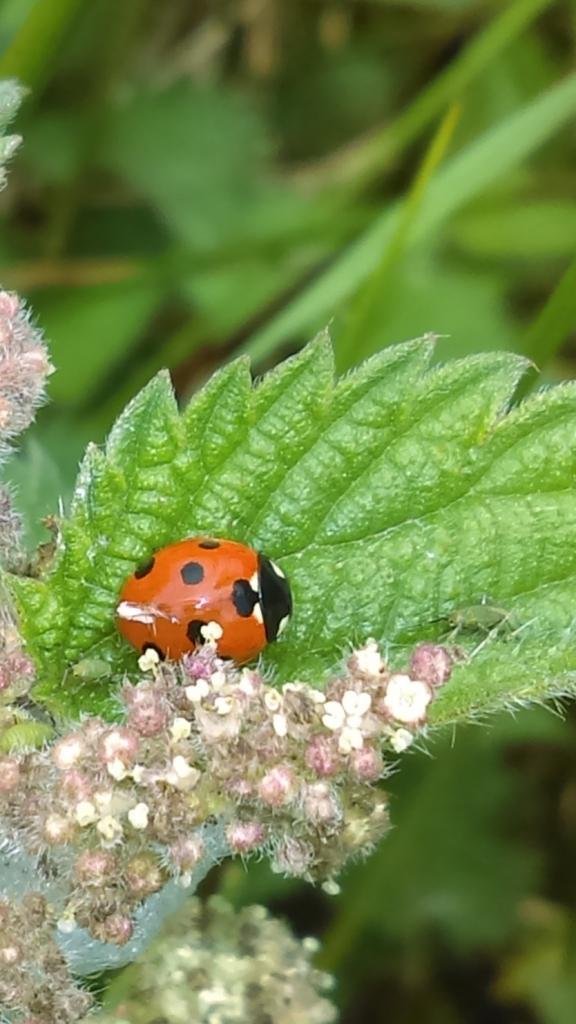 ladybug (cropped)